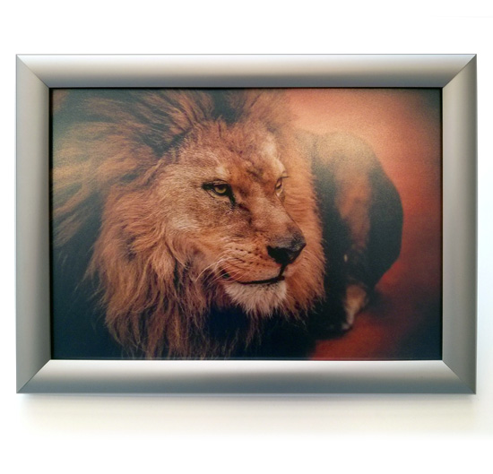 Snapframe poster mounting display from Wild Digital containing a poster of a Lion.